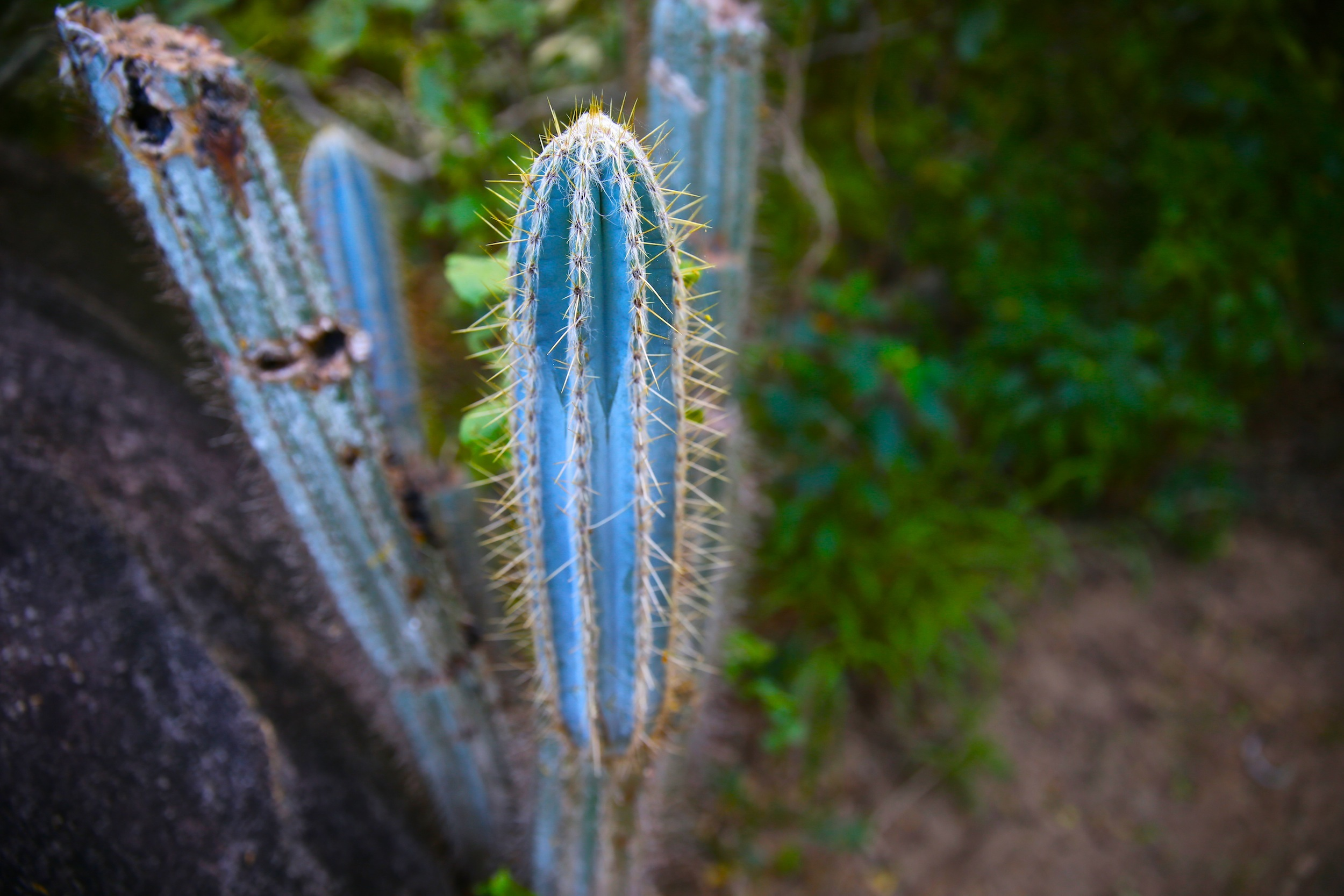 Blue cactus virgin gorda