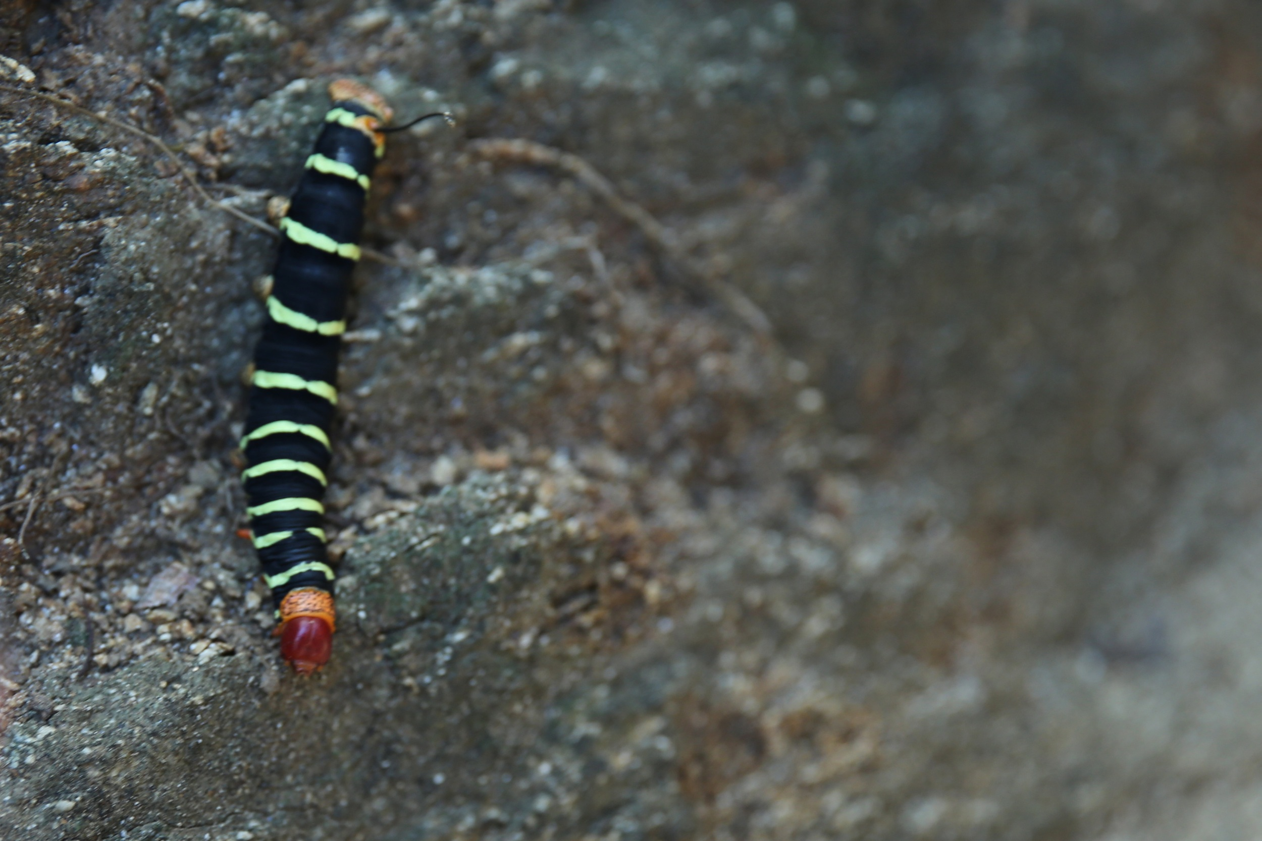 Caterpillar Virgin Gorda