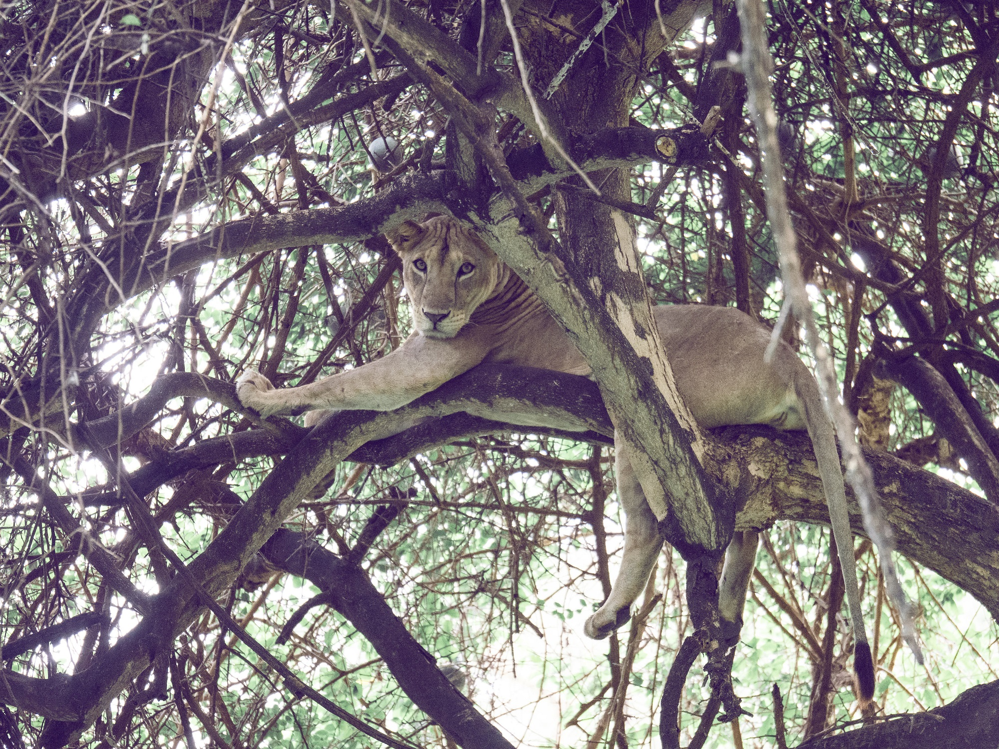Lake Manyara tree-climbing lion